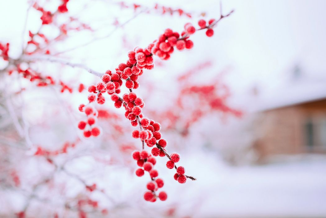 winter red berries tree branch bokeh wallpaper