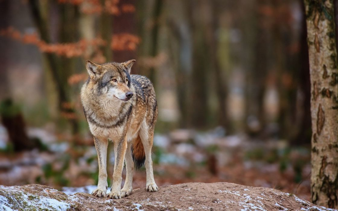 wolf nature forest wallpaper
