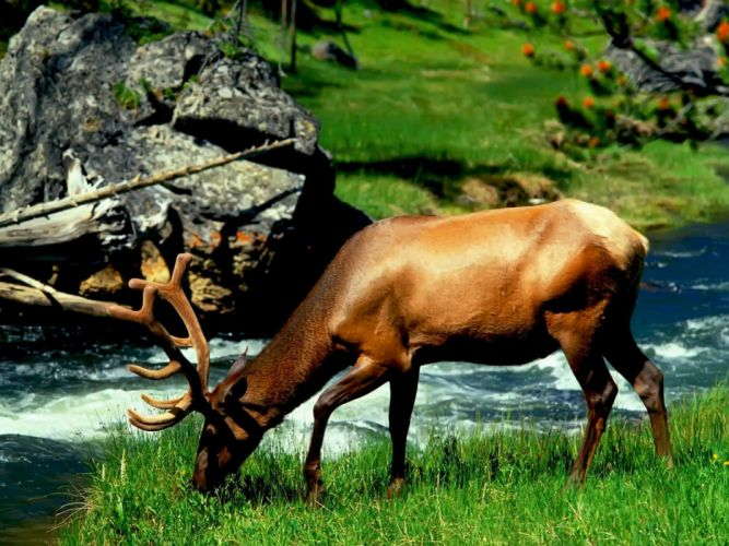 animals grass deer elk eating wallpaper