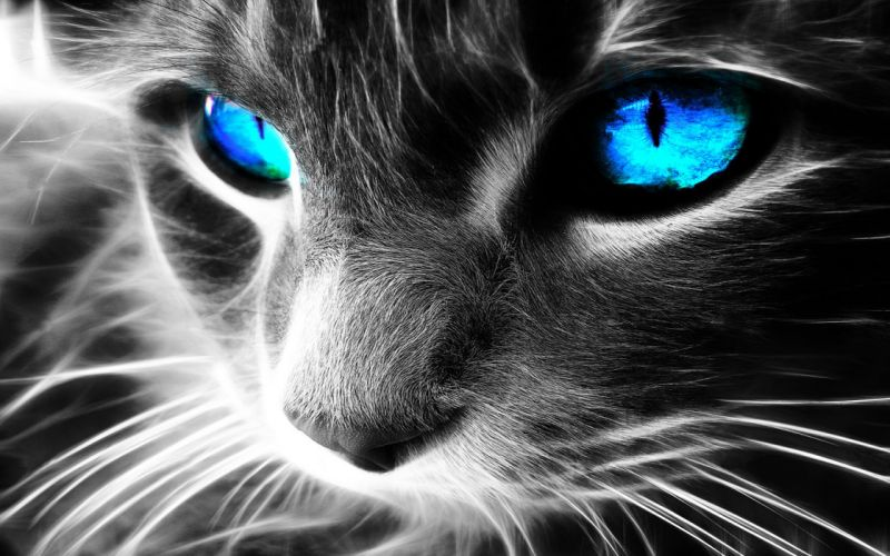 close-up cats blue eyes Fractalius wallpaper