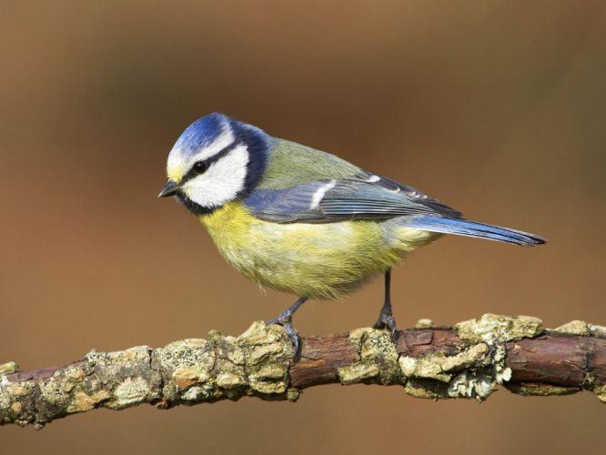 birds blue tit wallpaper