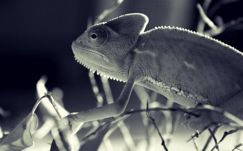 chameleons sepia wallpaper
