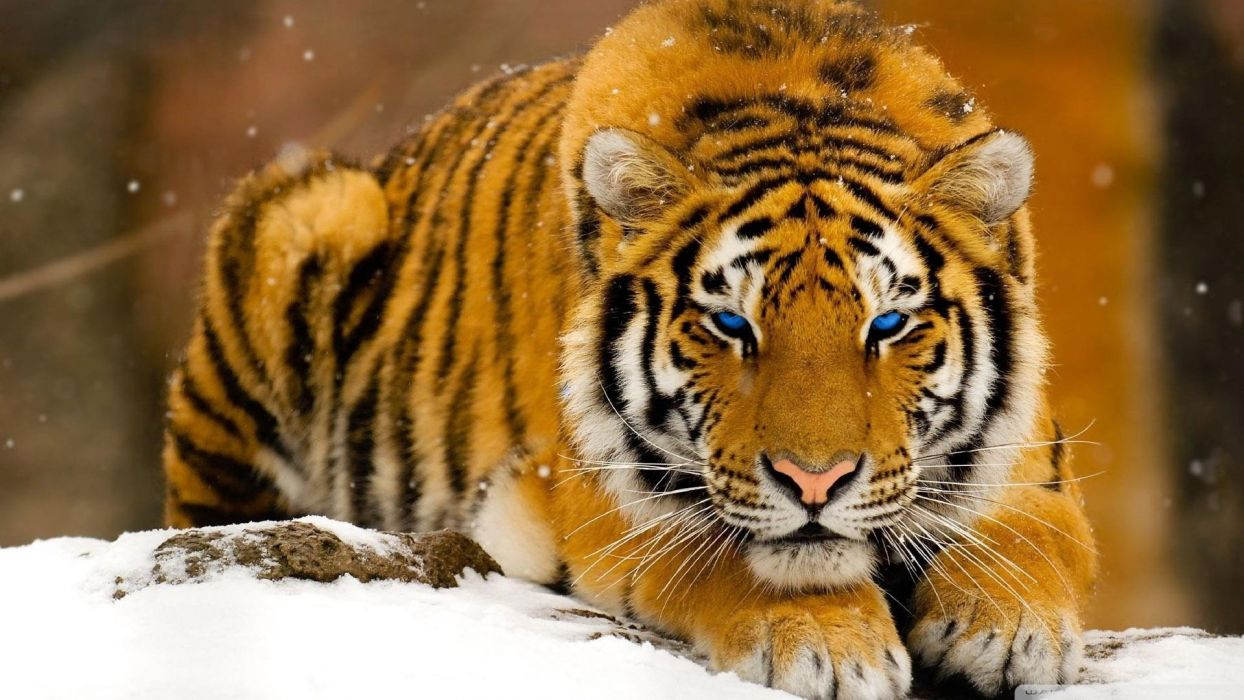 winter snow blue eyes animals tigers wallpaper