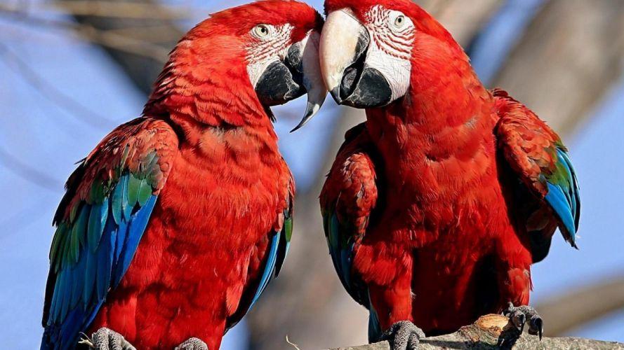 nature birds parrots Scarlet Macaws wallpaper