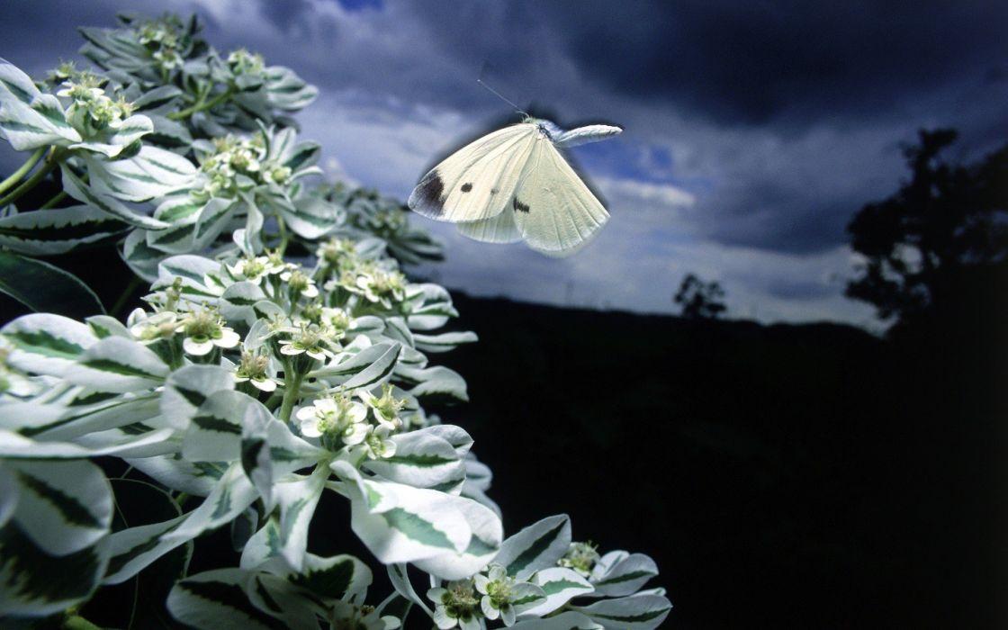 nature white butterflies wallpaper
