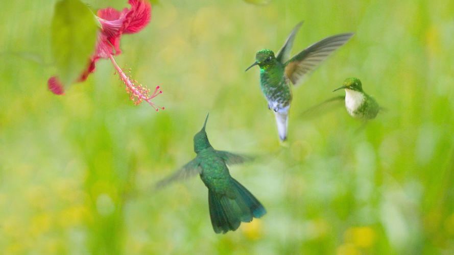birds hummingbirds wallpaper