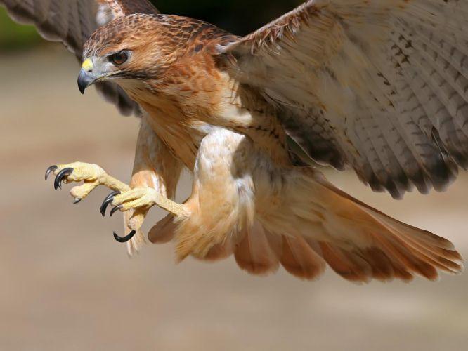 birds wildlife hawks wallpaper