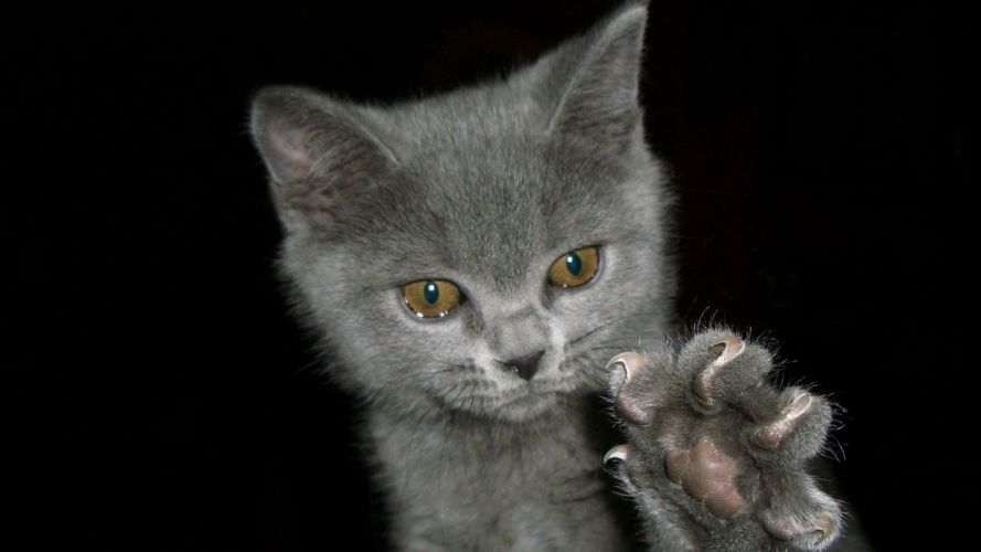 nature cats animals kittens claws wallpaper