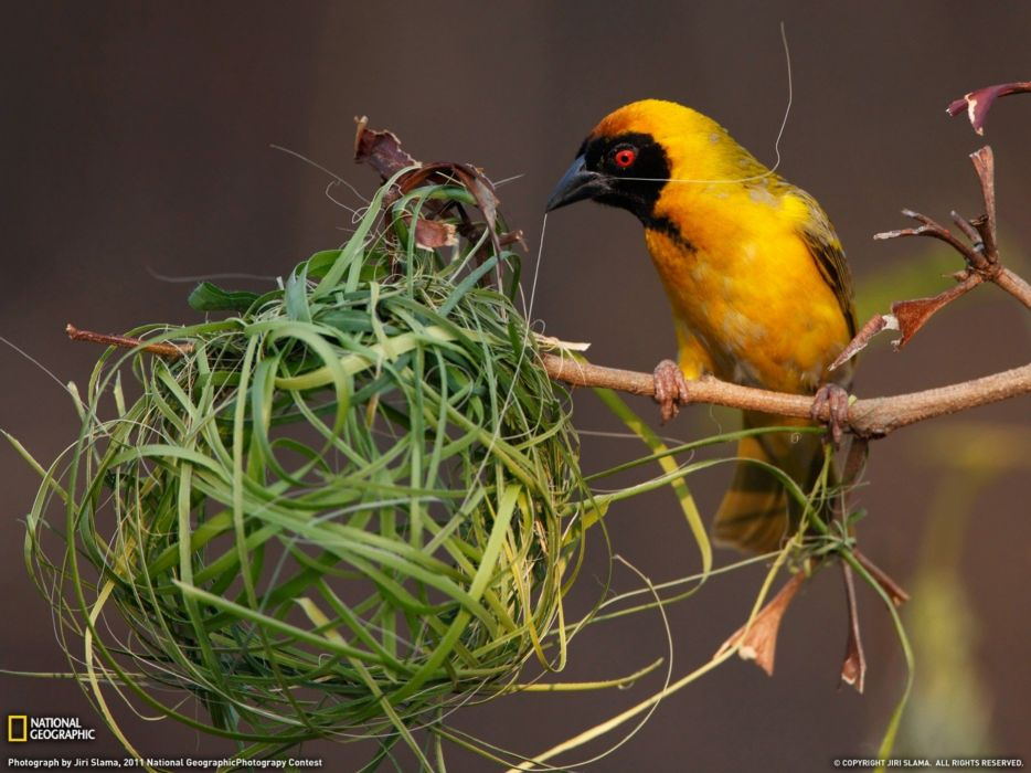 birds National Geographic nest weaver birds wallpaper