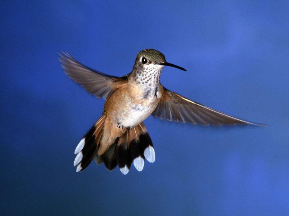 nature birds hummingbirds wallpaper