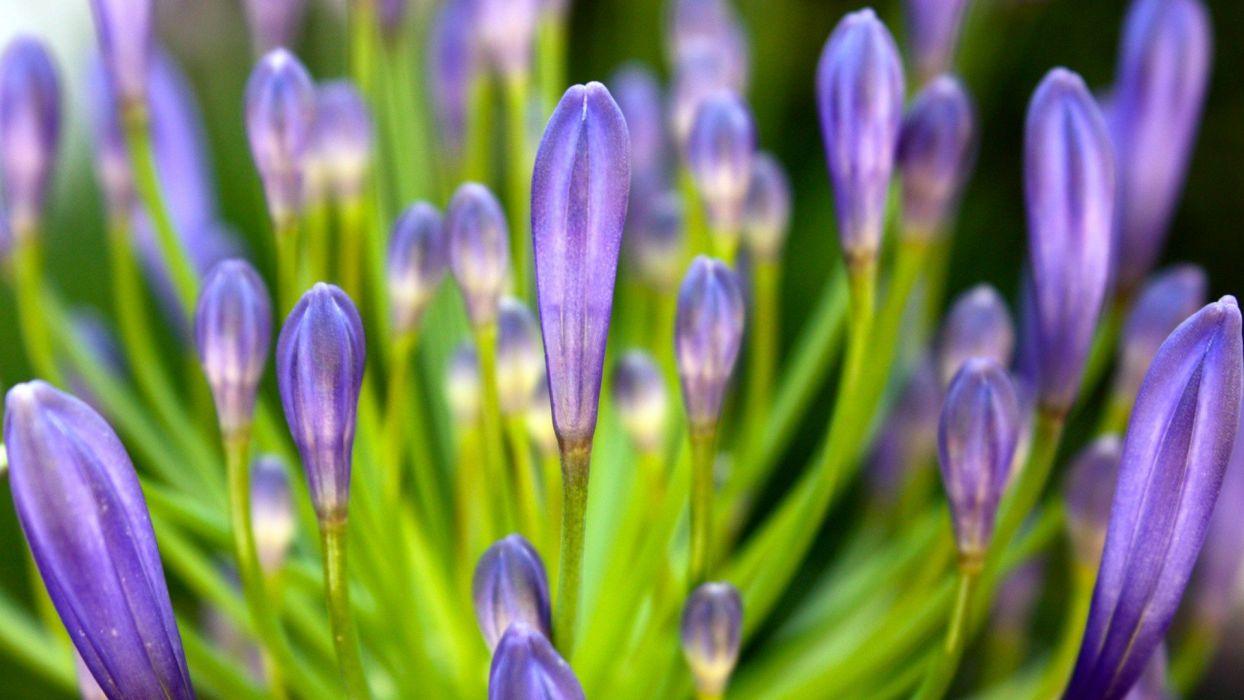 flowers macro crocus purple flowers wallpaper