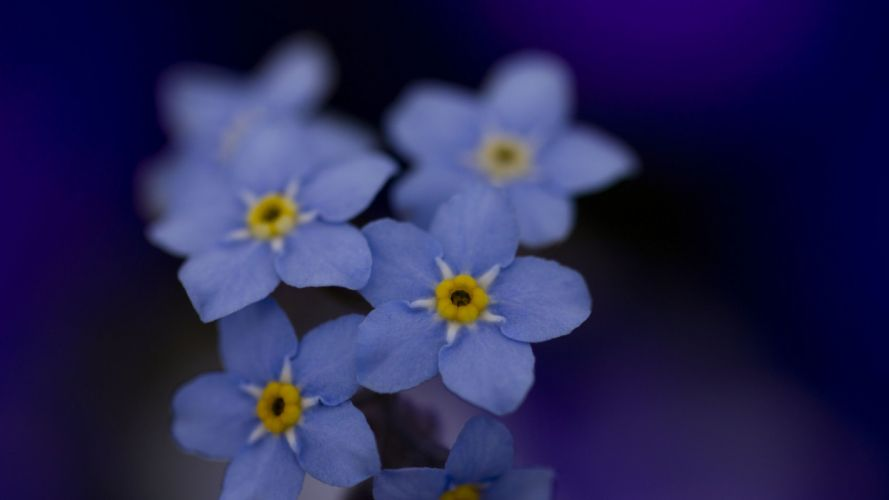 flowers macro Forget-me-nots wallpaper