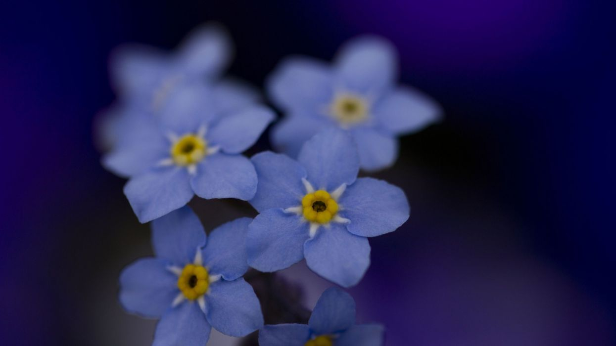 flowers macro Forget-me-nots wallpaper