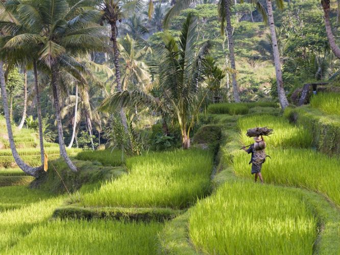 landscapes rice Indonesia wallpaper