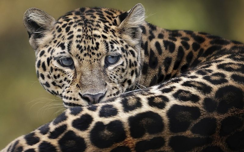 animals Amur Leopard wallpaper