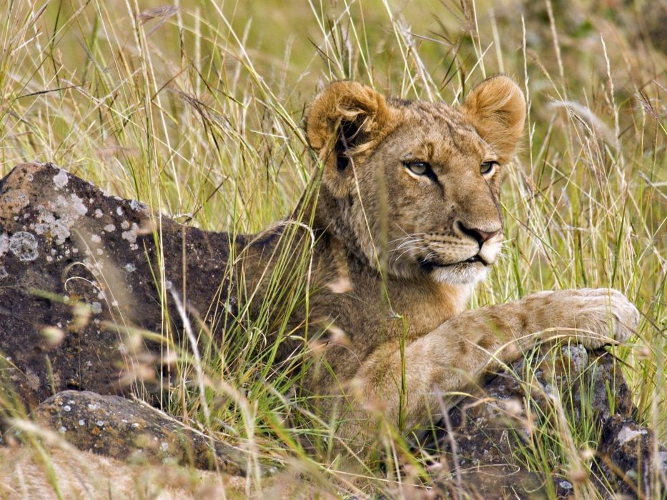 animals wildlife feline lions wallpaper