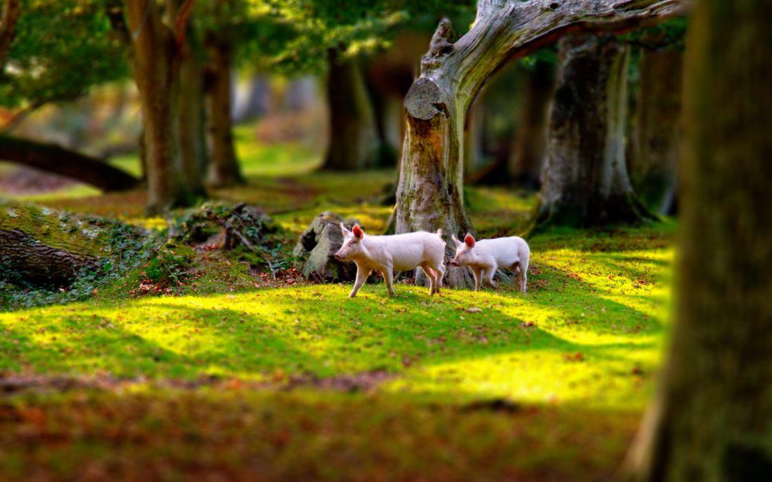 nature animals pigs wallpaper