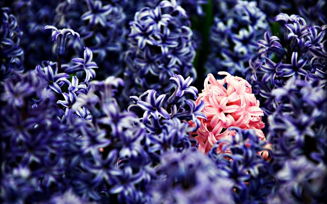 nature flowers macro hyacinths wallpaper