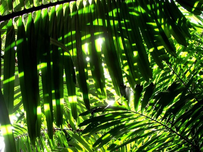 nature leaves sunlight palm leaves wallpaper