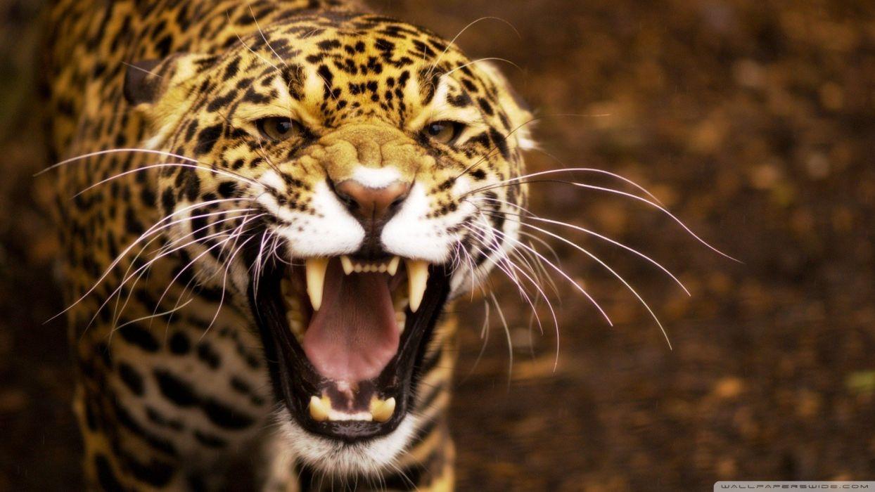 nature animals jaguars wallpaper