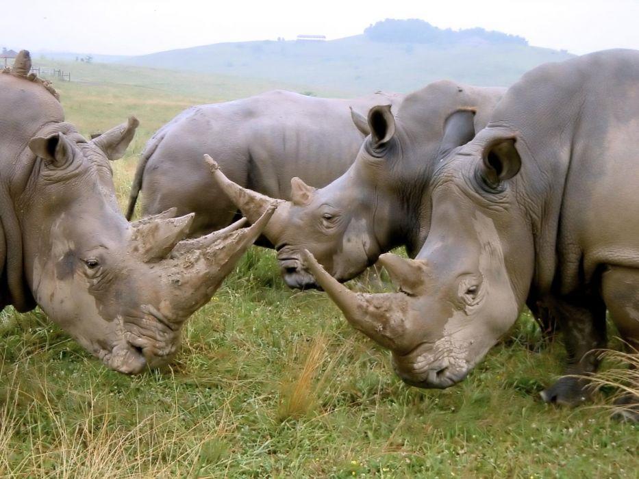 animals rhinoceros wallpaper