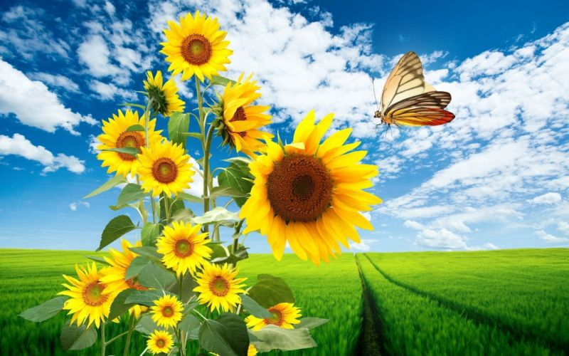landscapes nature flowers skyscapes sunflowers butterfly wings wallpaper