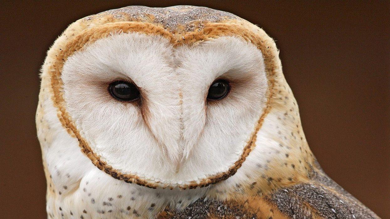 close-up birds owls wallpaper