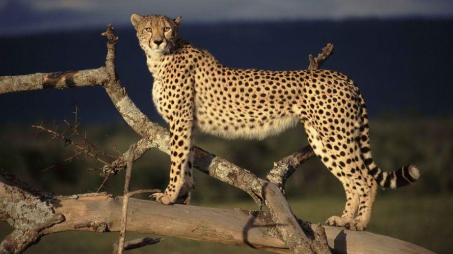 cheetahs mara Kenya wild cats wallpaper