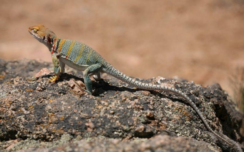 nature animals lizards reptiles wallpaper