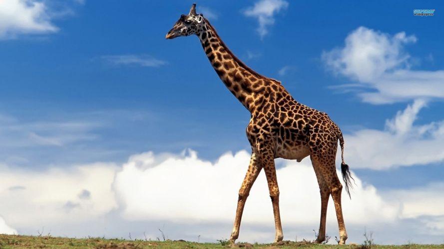 animals Africa mammals skyscapes giraffes wallpaper