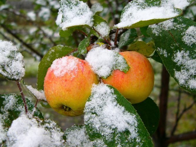 food apples wallpaper