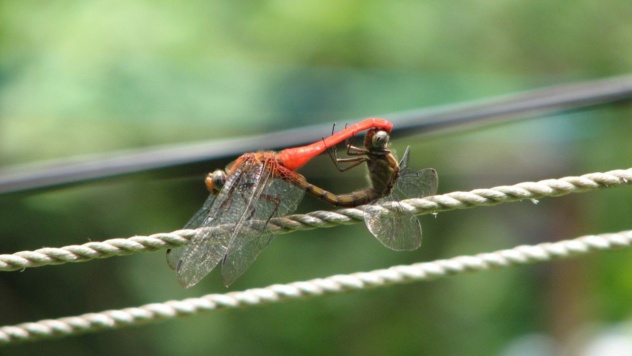 Dragonfly Insects wallpaper