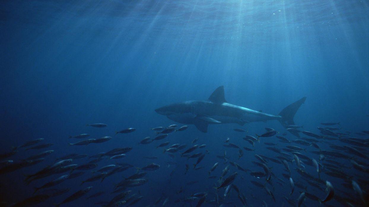 islands south australia Neptune great white shark wallpaper