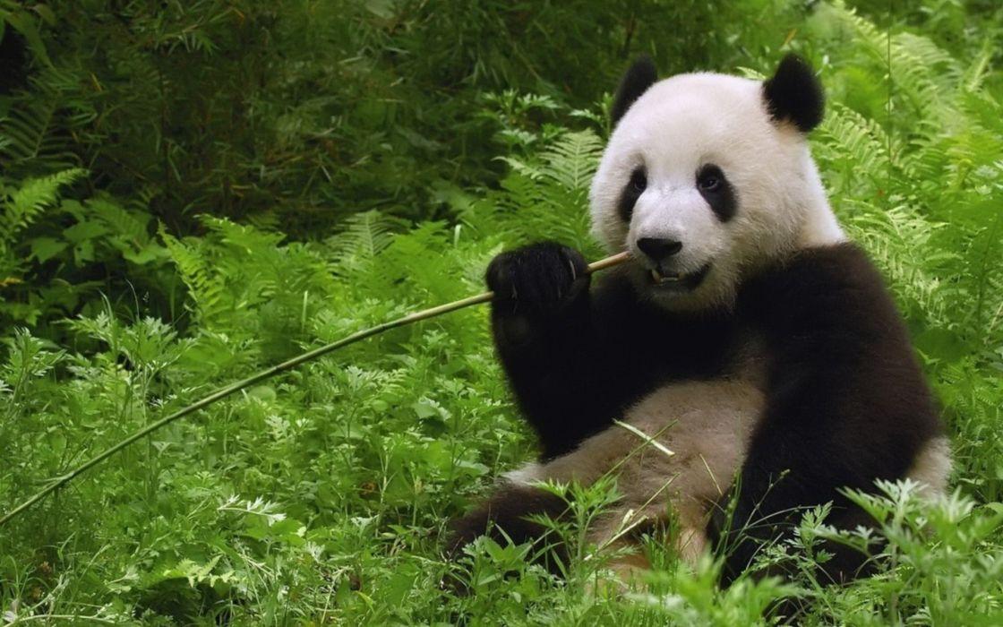 bamboo plants panda bears wallpaper