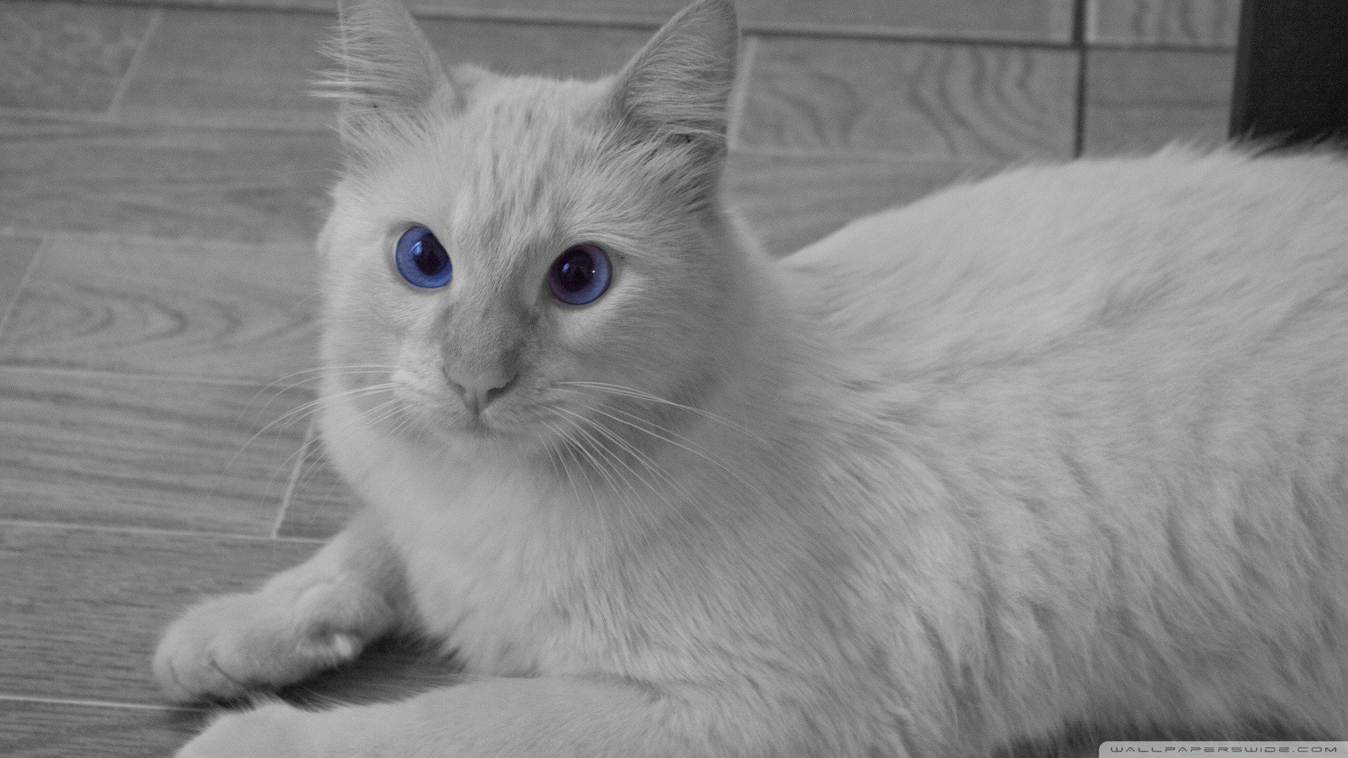 White Cats Blue Eyes Animals Sepia Azul Wallpaper