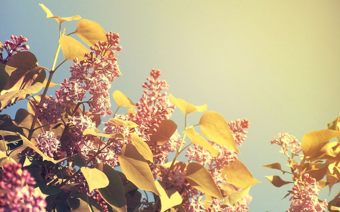 nature spring blossoms lilac wallpaper