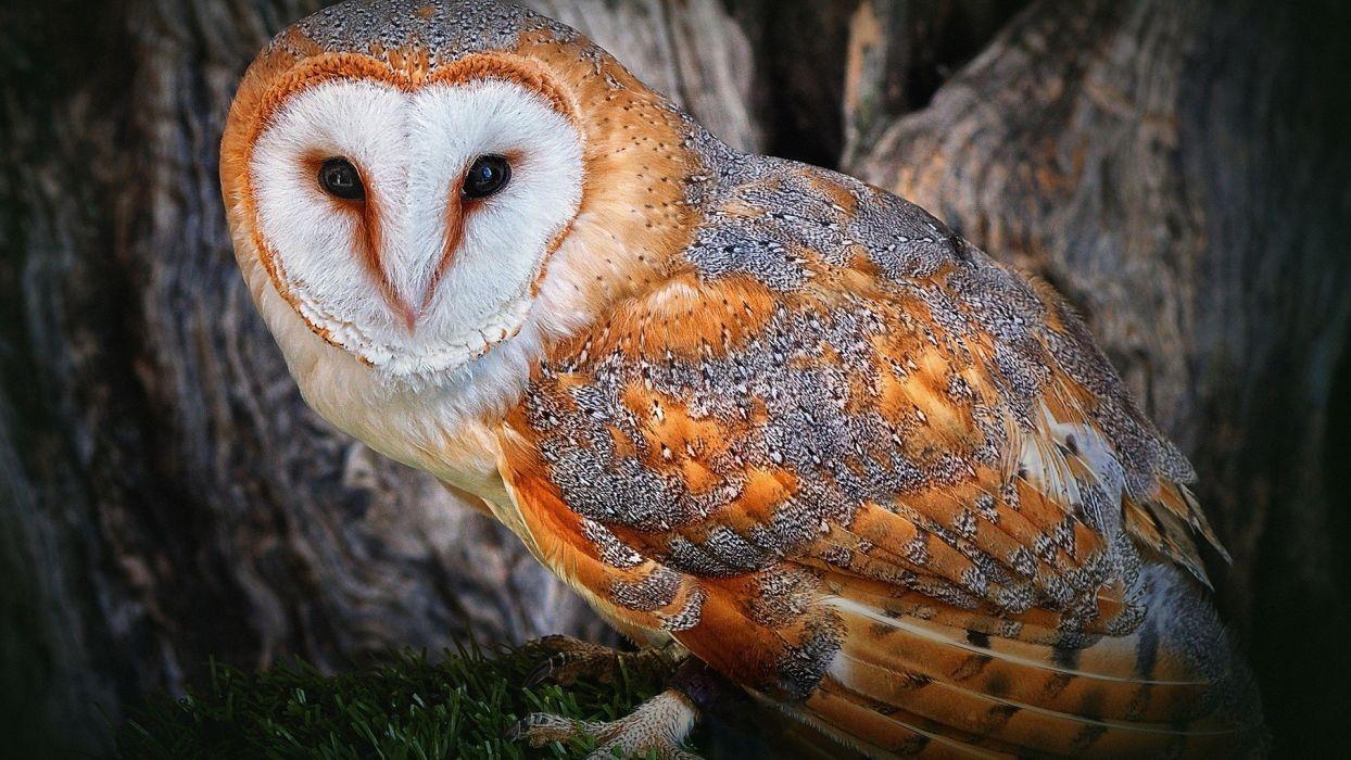 birds animals golden feathers owls wallpaper