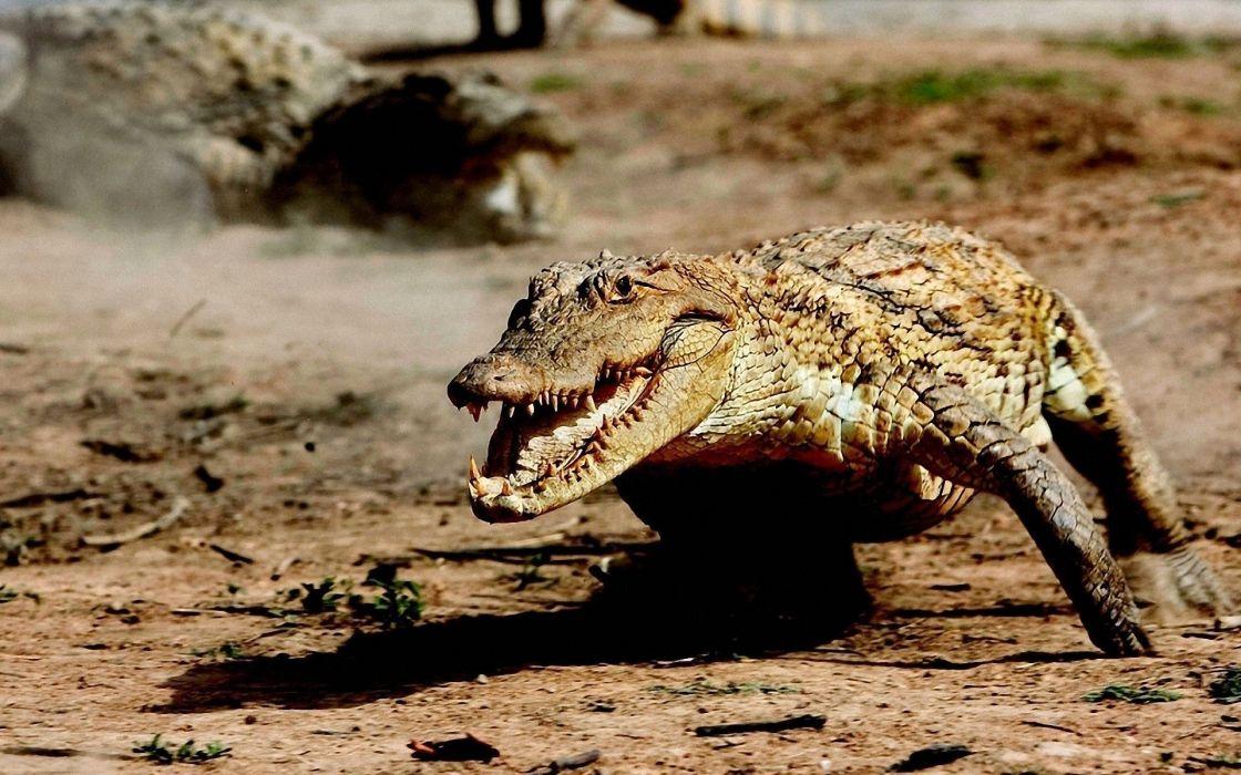 animals wildlife alligators wallpaper