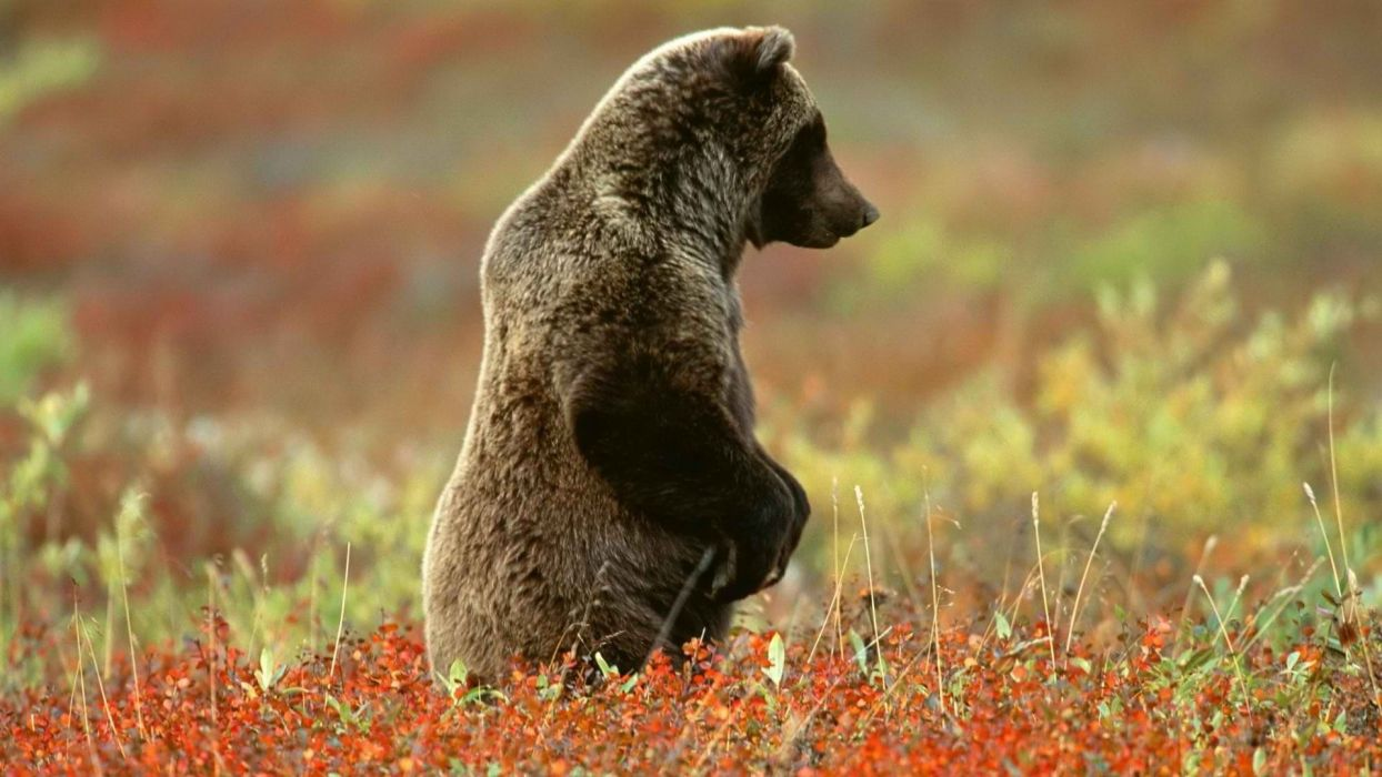 Alaska grizzly bears National Park wallpaper