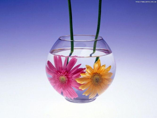flowers gerber daisy wallpaper