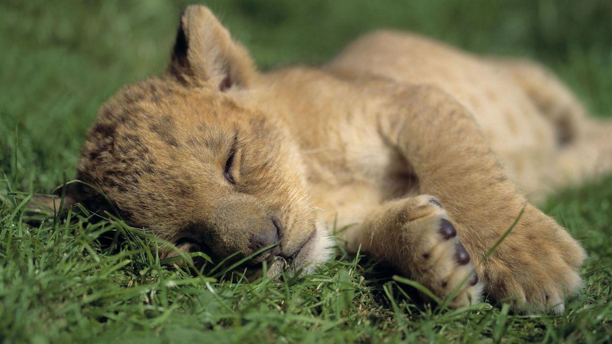 animals grass sleeping wallpaper