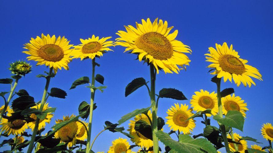 bloom sunflowers wallpaper