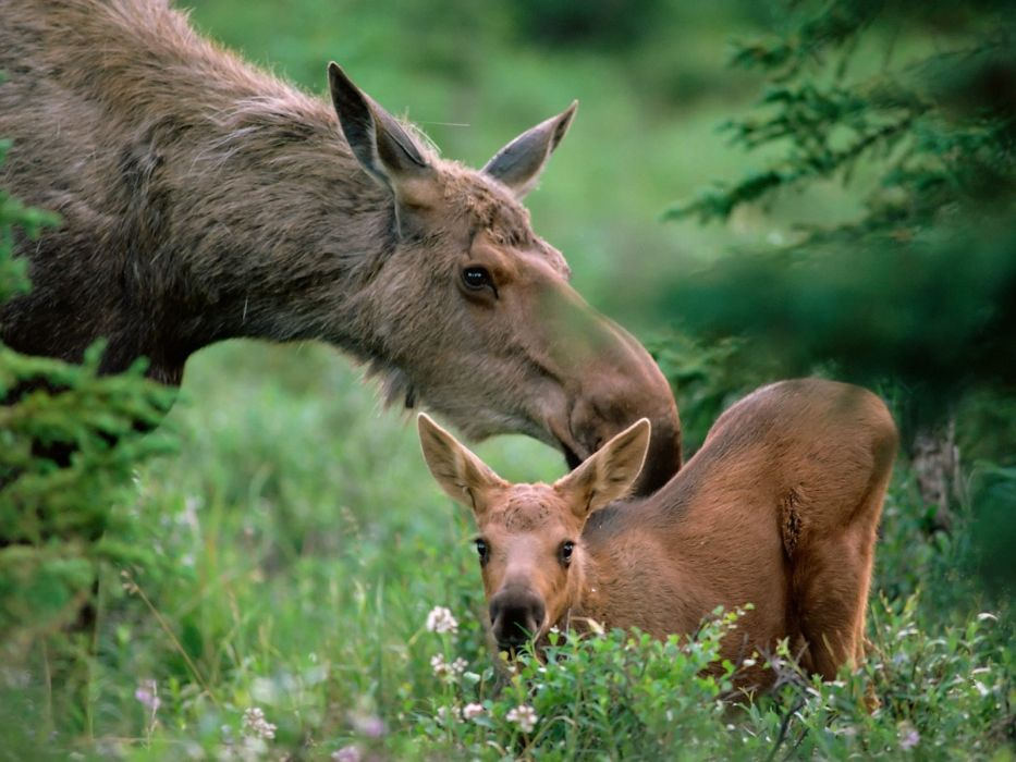 animals baby animals moose wallpaper