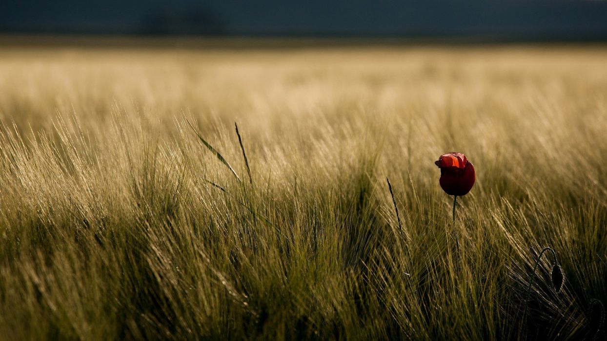 nature flowers grass poppy pasture wallpaper