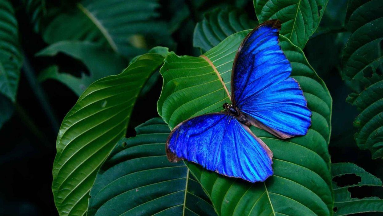 blue morpho lepidoptera butterflies wallpaper