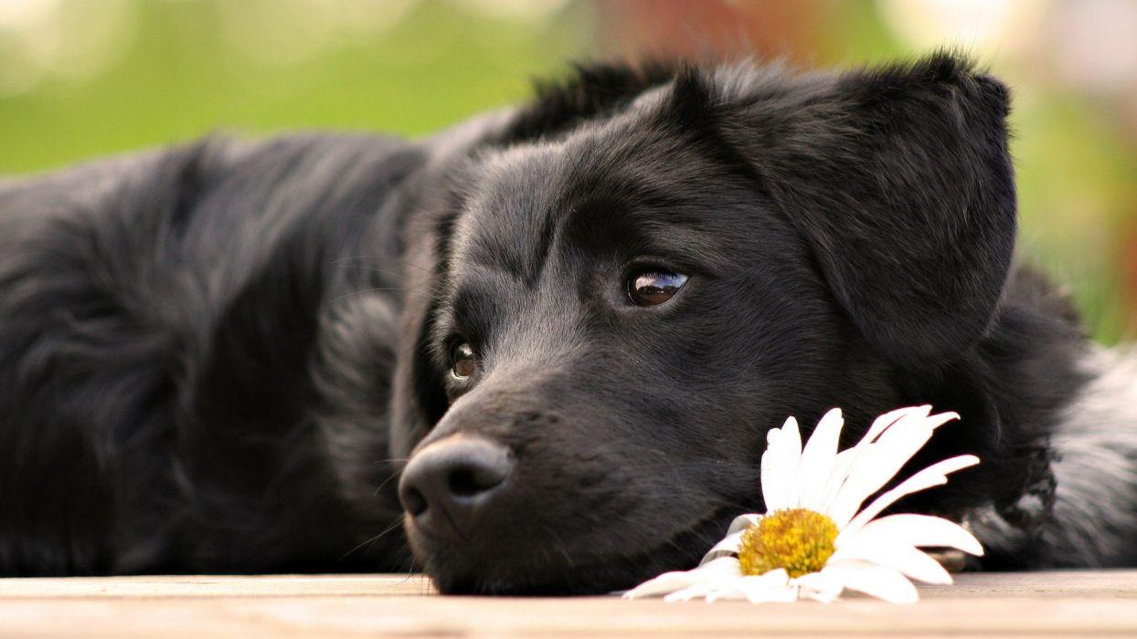 black flowers animals dogs mammals wallpaper