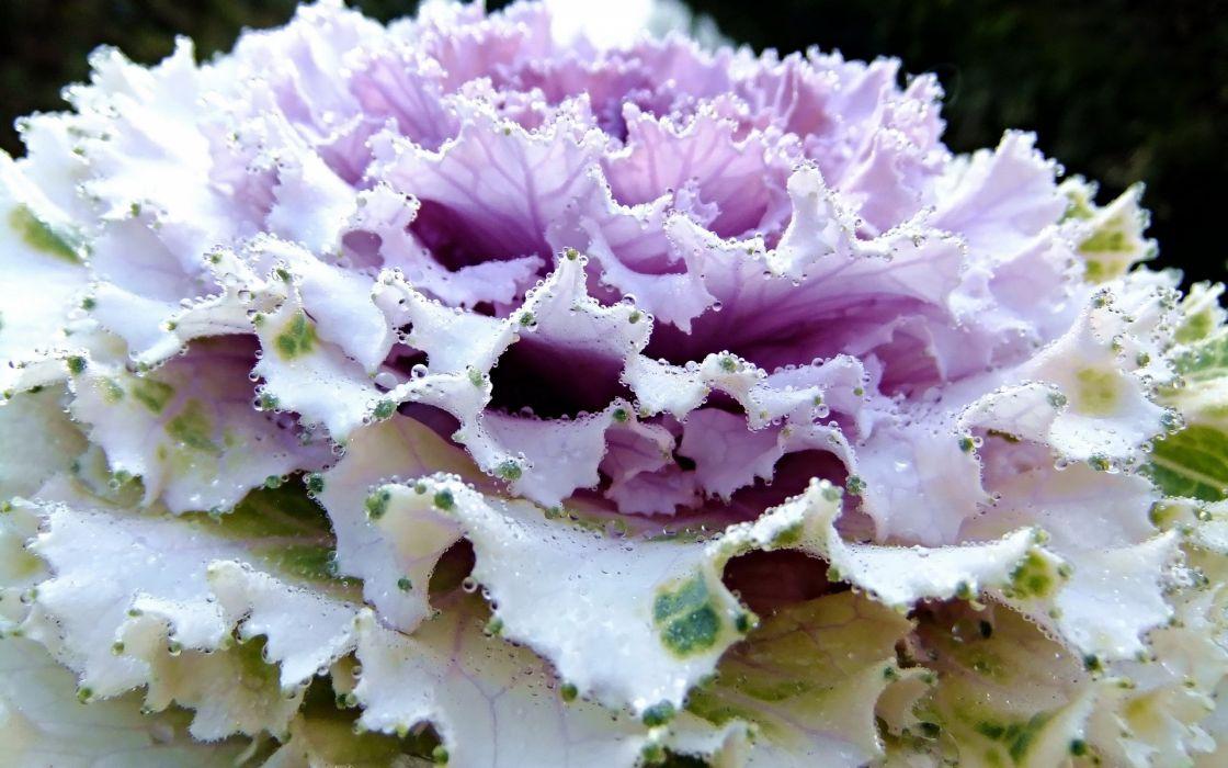 vegetables plants water drops cabbages wallpaper
