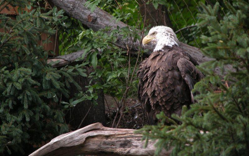 trees birds wildlife bald eagles wallpaper