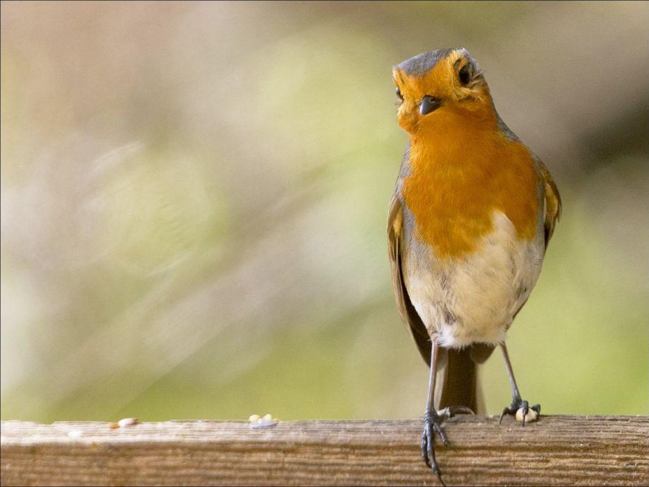 birds robins wallpaper