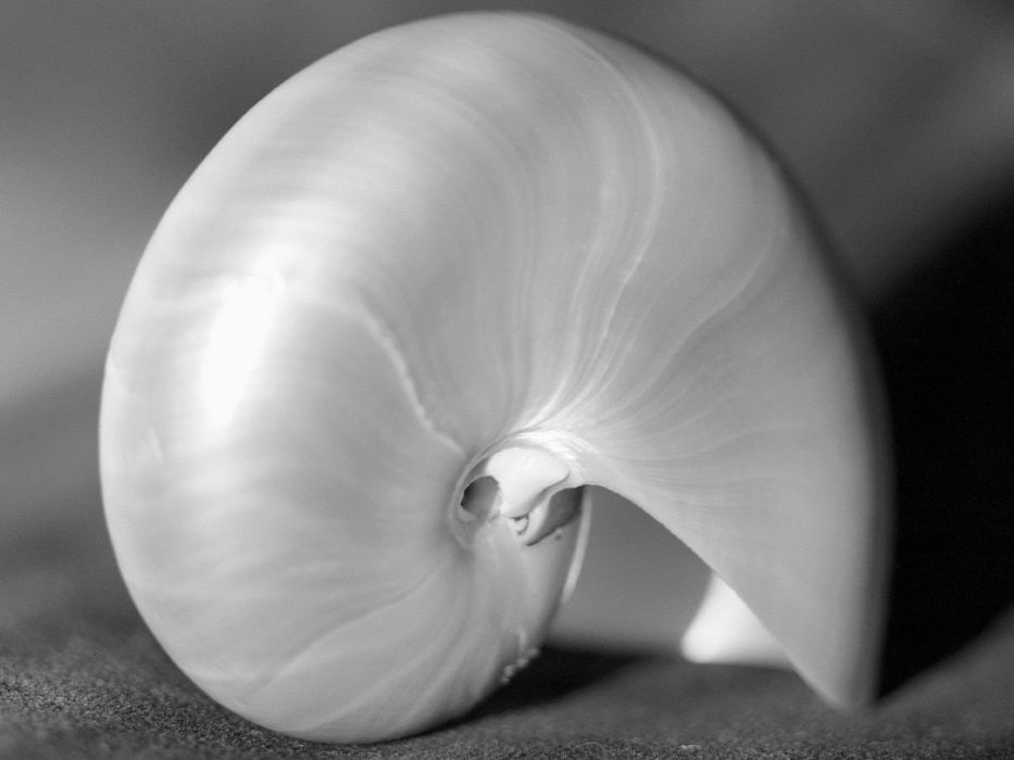 nature macro seashells wallpaper